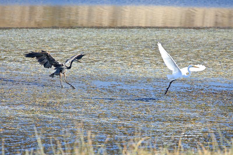 Great Blue Heron and Great Egret landing at Point Reyes National Seashore.