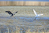 Great Blue Heron and Great Egret landing at Point Reyes National Seashore.
