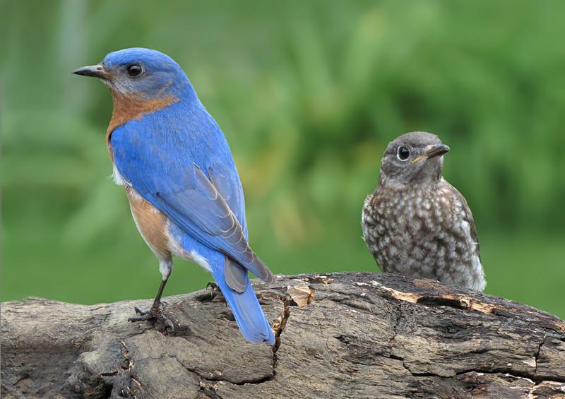 sx40_bluebird_ben_fledgling_563.jpg