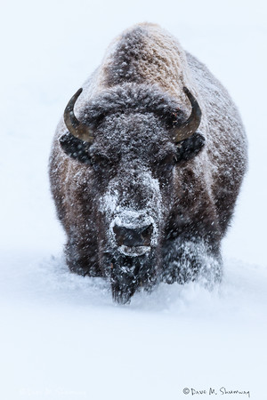 Yellowstone, January 1-4, 2015