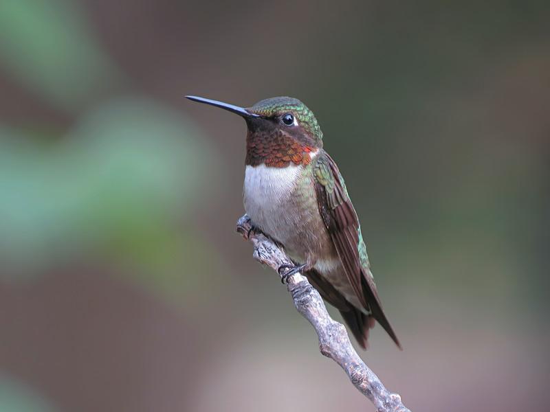 sx50_hummingbird_boas_099.jpg