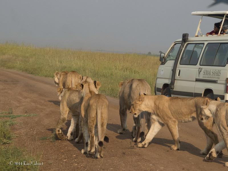 Lions Masai Mara - K-3.jpg