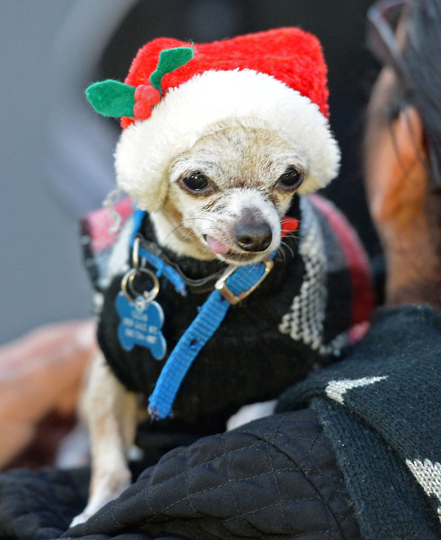 . The 60th annual Daisy Avenue Parade in the Wrigley neighborhood Saturday, December 13, 2013, in Long Beach, CA.  Lucas, the Diaz family\'s dog is ready for the parade. Photo by Steve McCrank/DailyBreeze