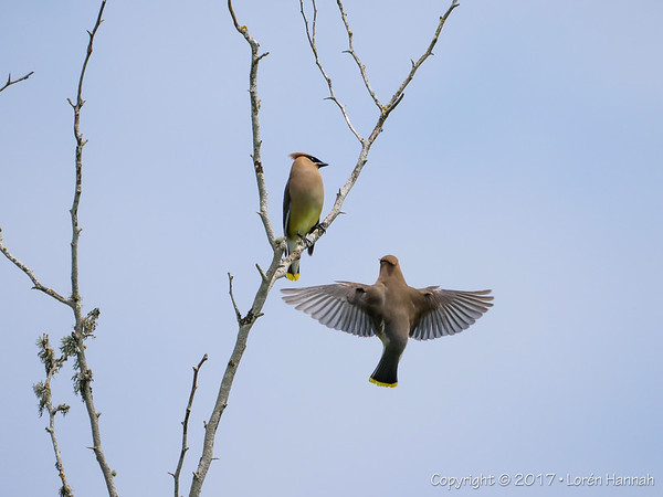 5/18/17 Tualatin River Wildlife Refuge - Sherwood, OR