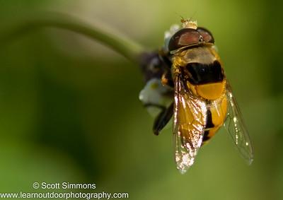 Palpada Hover Flies