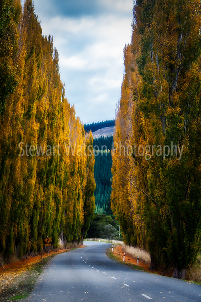 Road between the rows of poplars in Autumn in Wairarapa New Zealand