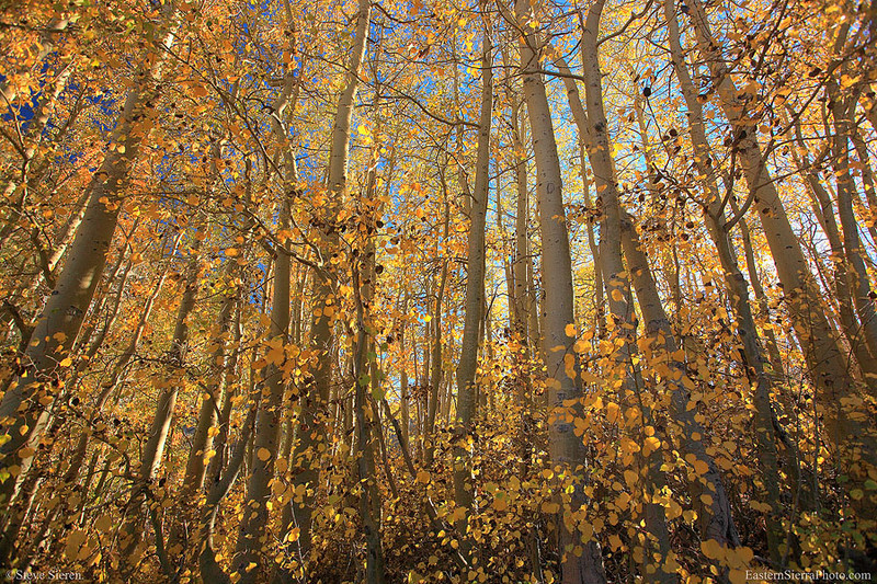 Middle_Fork_Bishop_Creek_aspens_3580.jpg