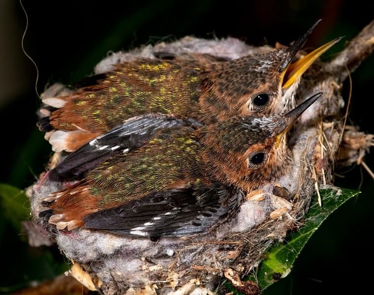 Hummingbirds-38.jpg