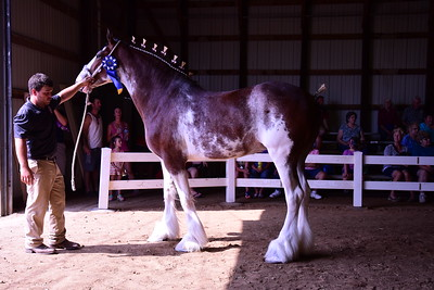 Clydesdale Champion Mare