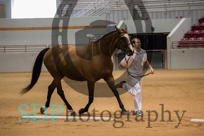 Belgian Warmbloods Inspection