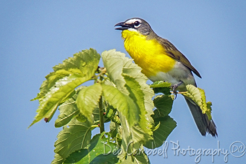DSC08900-yellow breasted chat.jpg