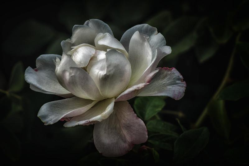 White Tree Rose