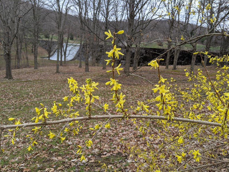 Forsythia in Bloom at Cummings Dam
