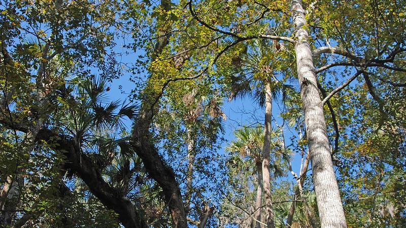 Tree canopy of palms, oaks, sweetgum