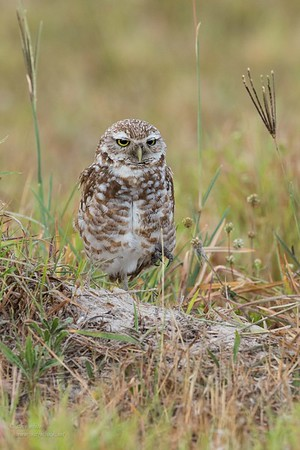 Cape Coral - Burrowing owls
