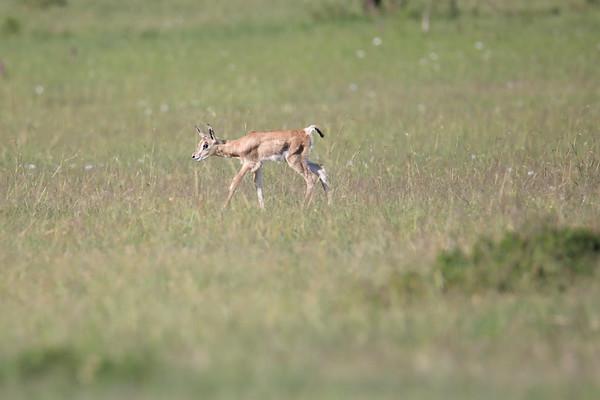 Grants Gazelle Kenya 2018