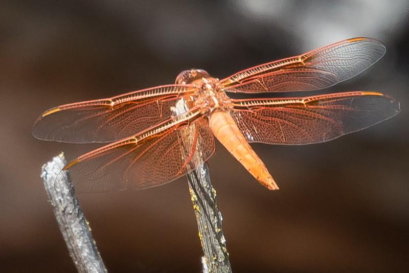 Dragonfly Sunning