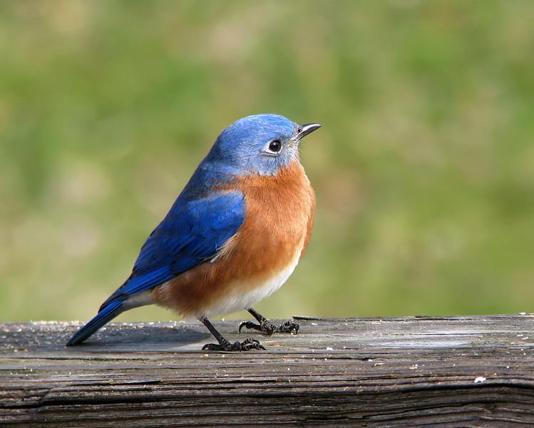 bluebird_8629.jpg