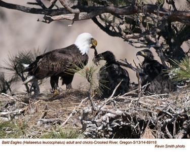 Bald Eagles Family 69118.jpg