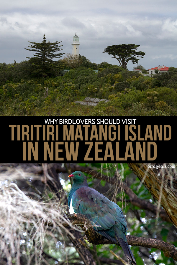 This may be one of the coolest things to do in New Zealand. Here's why you should visit Tiritiri Matangi if you love birds (or nature, or tramping/hiking or simply being outside). / #TiriTiriMatangi / #NewZealand / #Auckland / #NorthIsland / #Birdnerd / #twitching / #birders / #birdwatching /