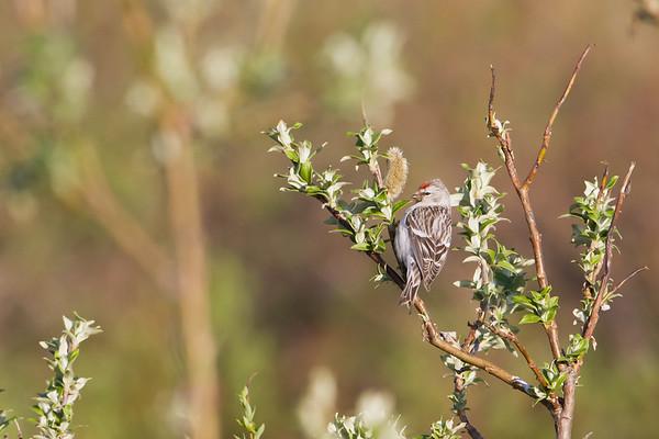 Crossbills, Siskins & Allies - Fringillidae