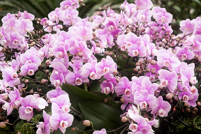 Longwood Gardens Orchid Extravaganza 2020