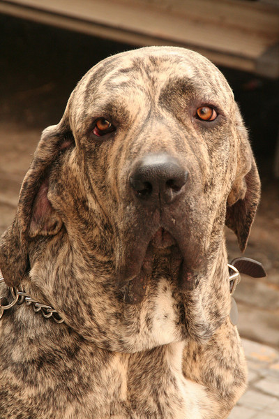 July 2007 - A Brazilian Mastiff in Buenos Aires, Argentina  The Fila Brasileiro (or Brazilian Mastiff) is a large working breed of dog developed in Brazil. This one is a Brindle coated one.