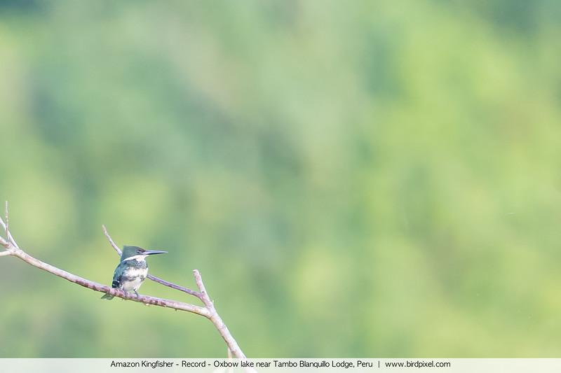 Amazon Kingfisher - Record - Oxbow lake near Tambo Blanquillo Lodge, Peru
