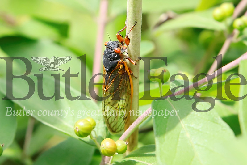 A Cicada rests on a branch near Chicora. Seb Foltz/Butler Eagle