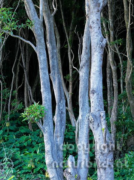 Lorbeerbäume, Stämme vor dunklem Wald, Insel Pico, Azoren, Portugal,