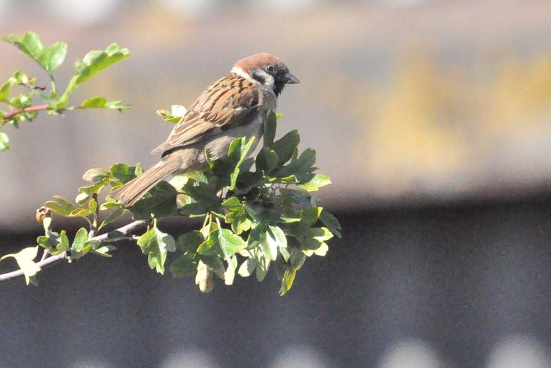Tree Sparrow Durham - Richard Cowen.JPG