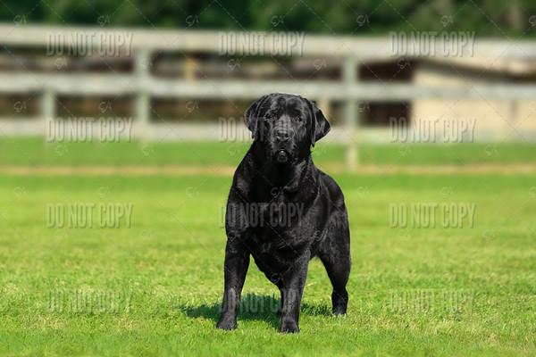 Hunt Club Labradors