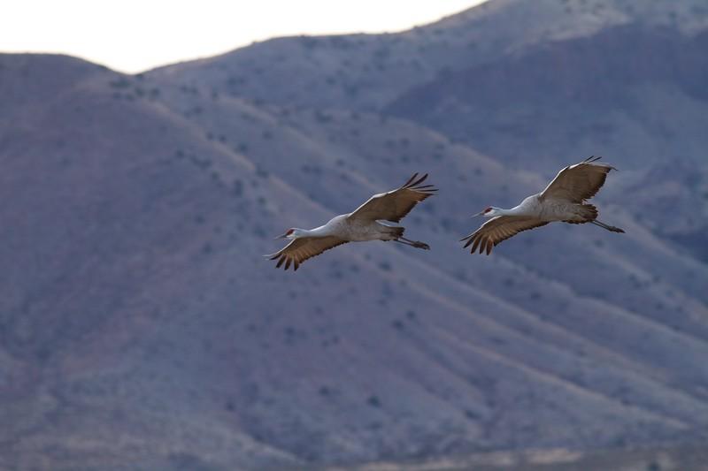 Sandhill Crane Bosque del Apache NWR Socorro NM IMG_0007018.CR2.jpg