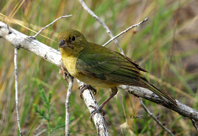 Female Painted Bunting IMG_7007.jpg