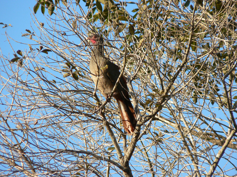 This bird is called Chaco Chachalaca.  It is in the family of guans and is incredibly noisy.