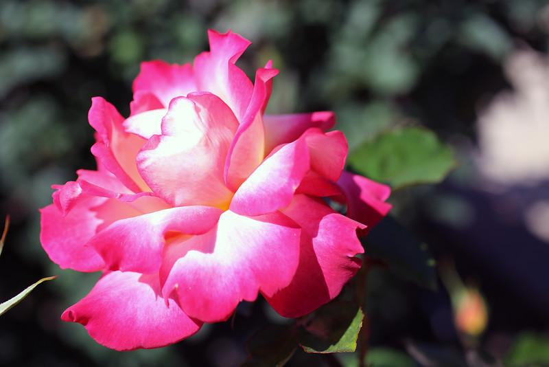 Natural Pink Full Bloom.jpg