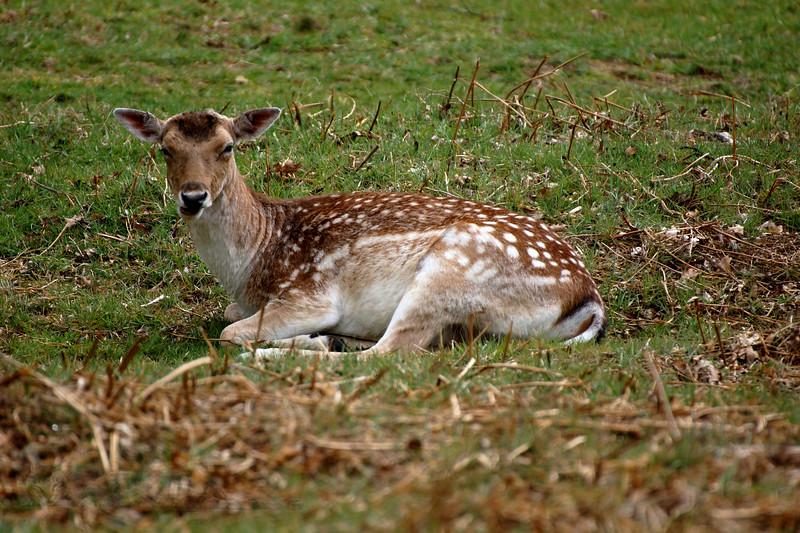 Richmond Park - Fallow Deer