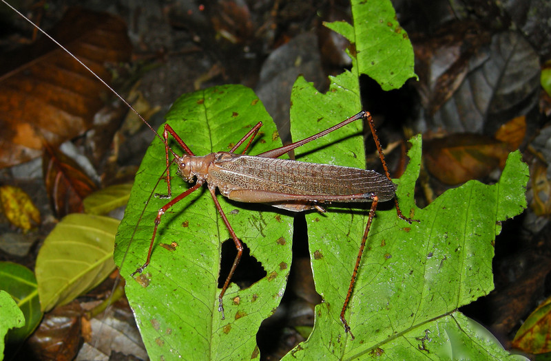 Katydid, there were so many different species it is difficult to decipher which one this...