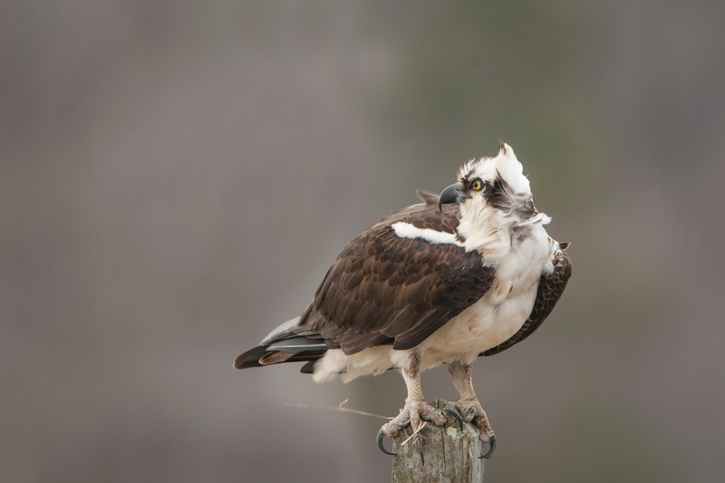 Osprey Perching.jpg