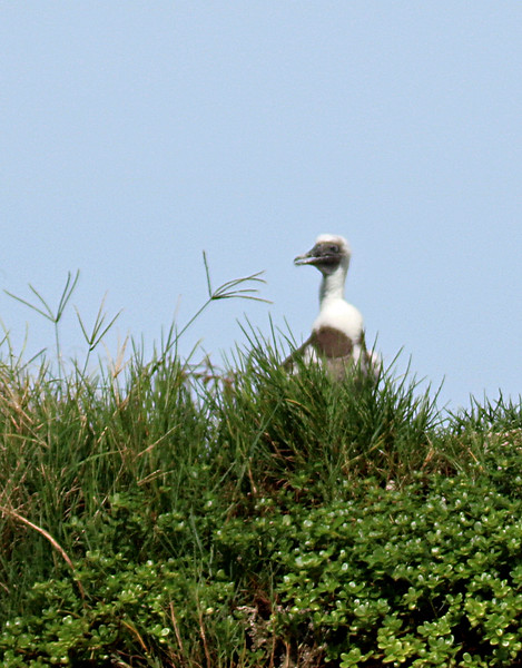 Brown Booby Baby or Juvenile