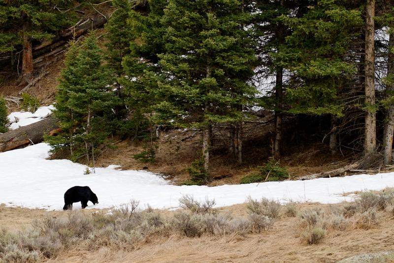 Black Bear Yellowstone National Park WY IMG_4976.jpg