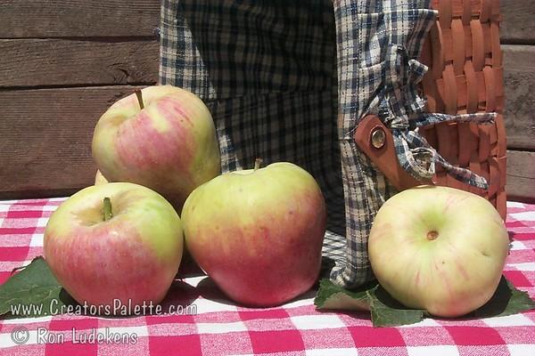 Gala Apple (Kidd's D-8) - Malus sp.