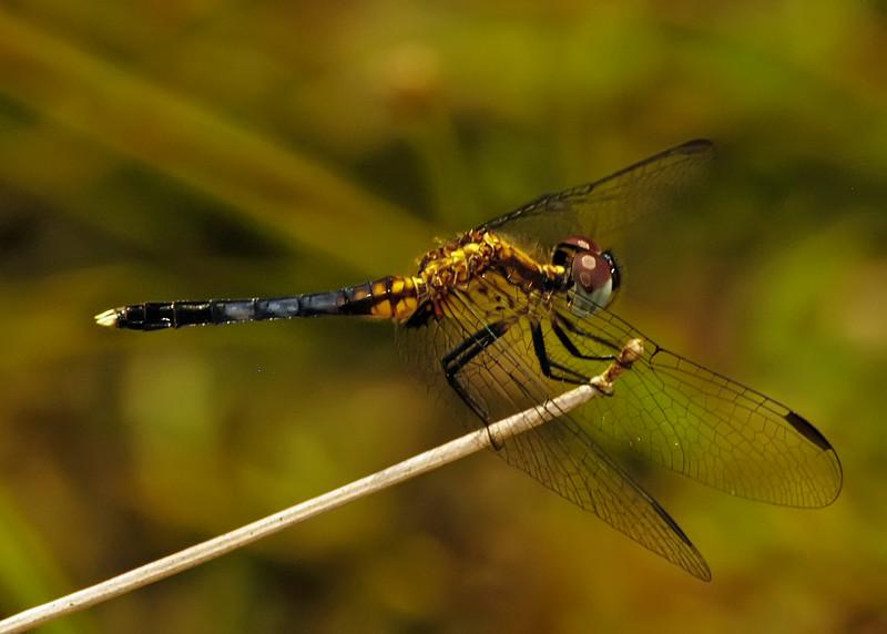 Erythrodiplax minuscula (Little Blue Dragonlet), GA - male