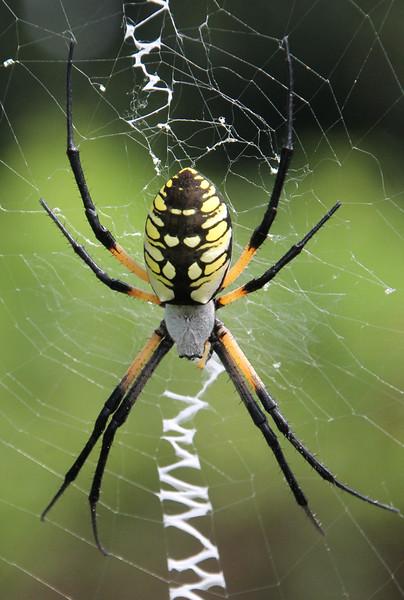 Argiope spider