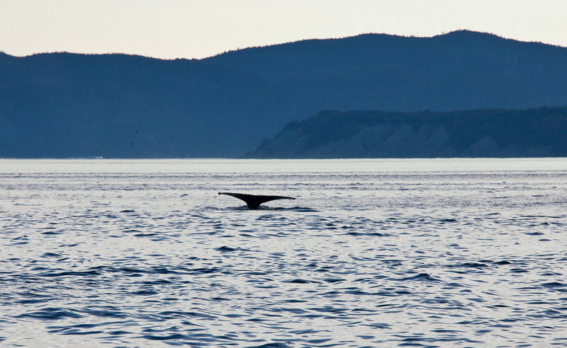 2011 quebec whale watching (68 of 80).jpg