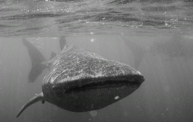 2014 Whale Shark - Cave Adventure-48.jpg