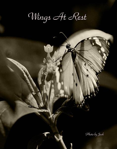 Butterfly  2 sepia  .jpg