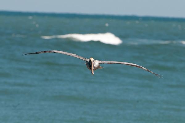 Carefree Pelicans of Sebastian Inlet, FL