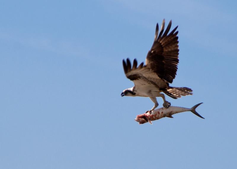 Osprey taking breakfast home