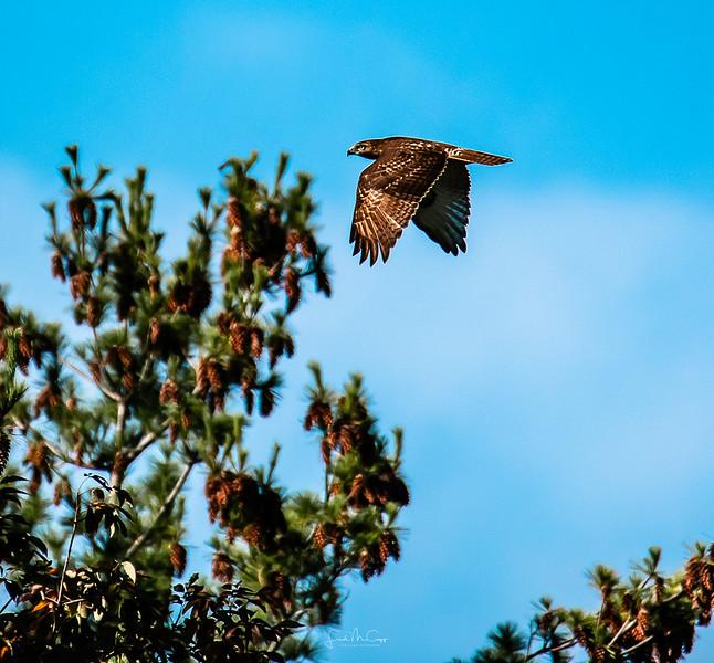 Morning Hawk Flight.jpg